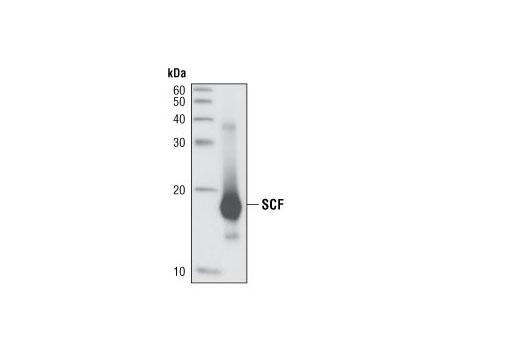 Western blot analysis of recombinant SCF (5 ng) using SCF (C19H6) Rabbit mAb.