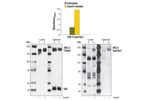 Figure 1. Treatment of CHO (IR/4PS) cells with insulin stimulates tyrosine phosphorylation of IRS-2, detected by the PathScan<sup>®</sup> Phospho-IRS-2 (panTyr) Sandwich ELISA Kit #7860, but does not affect the level of total IRS-2 detected by Western analysis. CHO (IR/4PS) cells (80-90% confluent) were starved overnight and treated with 100 nM insulin for 10 minutes at 37<sup>o</sup>C. The absorbance readings at 450 nm are shown in the top figure. Kit specificity is demonstrated in the bottom figure by Western analysis of the ELISA microwell captured protein. Lysates were prepared from CHO (IR/4PS) cells and incubated in microwells coated with the IRS-2 capture antibody. The wells were washed, and the captured protein was solubilized in SDS gel loading buffer. Western analysis of CHO (IR/4PS) cell starting lysate (lanes 1, 2, 5 &amp; 6) and the captured protein (lanes 3, 4, 7 &amp; 8) was performed using IRS-2 Antibody #4502 (left panel) and Phospho-Tyrosine Mouse mAb (P-Tyr-100) #9411 (right panel). The major protein detected in the captured material corresponds to IRS-2 (lanes 3, 4 &amp; 8).