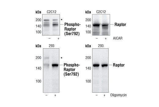 Image 5: AMPK Substrate Antibody Sampler Kit