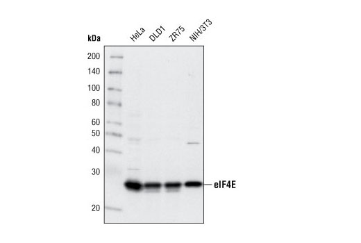 Western blot analysis of extracts from various cell lines using eIF4E (C46H6) Rabbit mAb.