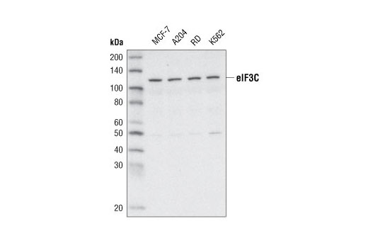 Mouse Translation Initiation Factor Binding