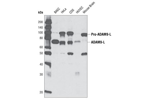 Western blot analysis of extracts from various cell types using ADAM9 Antibody.