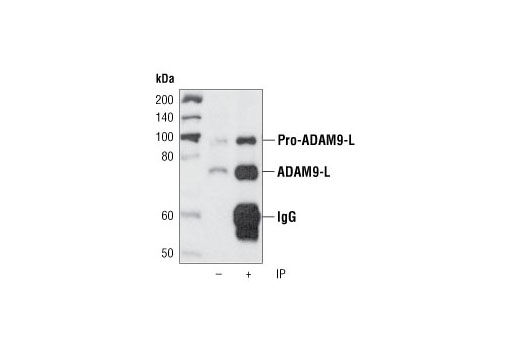 Polyclonal Antibody Immunoprecipitation Cell Adhesion Mediated by Integrin - count 20