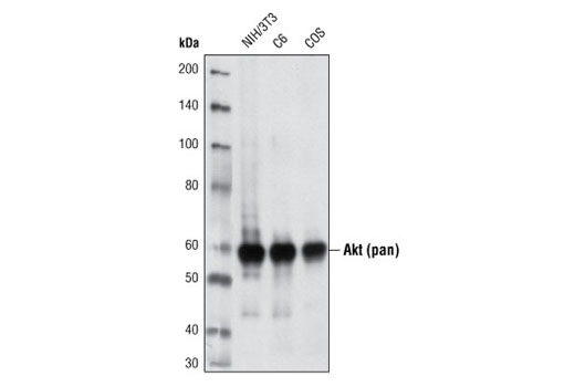 Western blot analysis of extracts from NIH/3T3, C6 and COS cells using Akt (pan) (40D4) Mouse mAb.