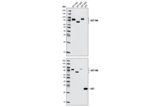 Western blot analysis of recombinant Akt1, Akt2, Akt3 and GST proteins using Akt (pan) (40D4) Mouse mAb (upper) and GST (91G1) Rabbit mAb #2625 (lower).
