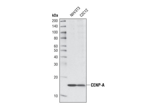 Monoclonal Antibody - CENP-A (C51A7) Rabbit mAb (Mouse Specific), UniProt ID O35216, Entrez ID 12615 #2048