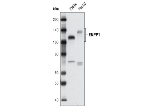 Polyclonal Antibody Cellular Phosphate Ion Homeostasis