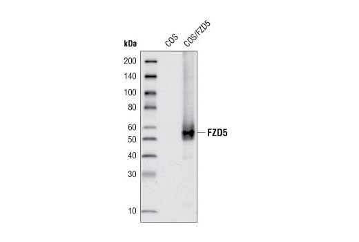 Western blot analysis of extracts from COS cells, mock transfected or transfected with human Frizzled5, using Frizzled5 Antibody.