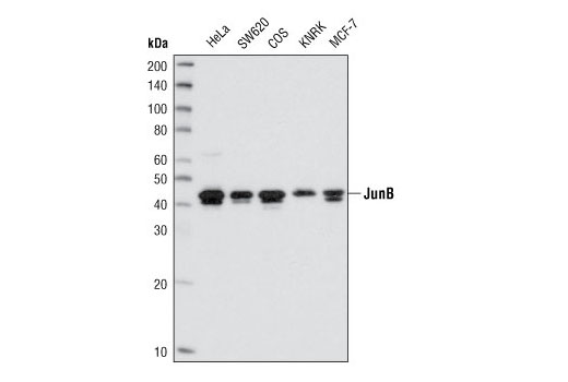 Western blot analysis of extracts from various cell lines using JunB (C37F9) Rabbit mAb.