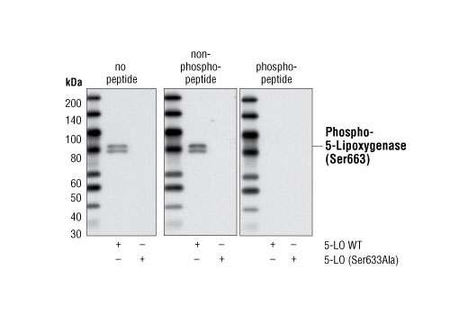 Western blot analysis of extracts from COS cells, transfected with 5-LO wild type or GFP 5-LO (Ser663Ala), using Phospho-5-Lipoxygenase (Ser663) Antibody. The phospho-specificity of the antibody was verified by preincubating the antibody with no peptide (left), with 5-LO (Ser663) non-phosphopeptide (middle) or 5-LO (Ser663) phosphopeptide (right) prior to incubating the membrane.