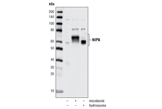 Western blot analysis of extracts from HeLa cells, either untreated (asynchronous) or treated with nocodazole or hydroxyurea, using NIPA Antibody.