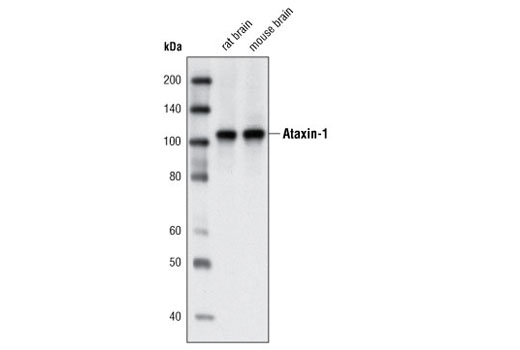 Western blot analysis of extracts from rat and mouse brain using Ataxin-1 Antibody.