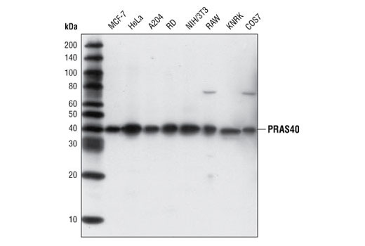 Western blot analysis of extracts from various cell types using PRAS40 (D23C7) XP<sup>®</sup> Rabbit mAb.