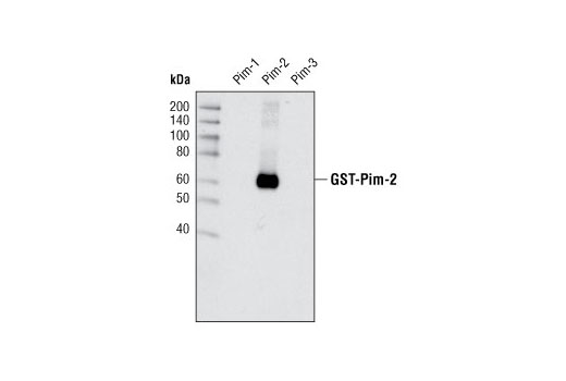 Image 8: Pim Kinase Antibody Sampler Kit