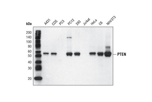 Western Blot analysis of extracts from various cell lines using PTEN (138G6) Rabbit mAb (Biotinylated).