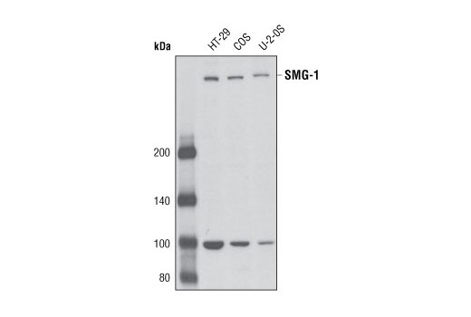 Western blot analysis of extracts from HT-29, COS and U-2 OS cells using SMG-1 (V72) Antibody.