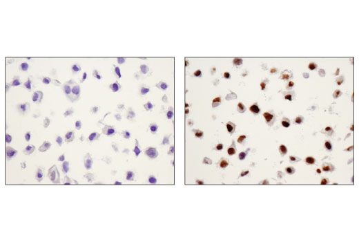 Immunohistochemical analysis using Phospho-Stat3 (Tyr705) (D3A7) XP® Rabbit mAb on SignalSlide® HeLa -/+ IFNa IHC Controls #55861 (paraffin-embedded HeLa cell pellets, untreated (left) or treated with Human Interferon-α1 (hIFN-α1) #8927 (right)).
