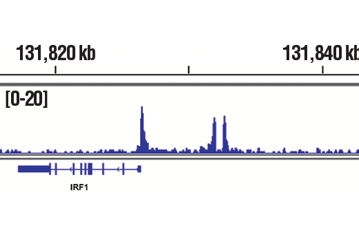 Chromatin immunoprecipitations were performed with cross-linked chromatin from Hep G2 cells starved overnight and treated with IL-6 (100 ng/ml) for 30 minutes and Phospho-Stat3 (Tyr705) (D3A7) XP<sup>®</sup> Rabbit mAb, using SimpleChIP<sup>®</sup> Plus Enzymatic Chromatin IP Kit (Magnetic Beads) #9005. DNA Libraries were prepared using SimpleChIP<sup>®</sup> ChIP-seq DNA Library Prep Kit for Illumina<sup>®</sup> #56795. The figure shows binding across IRF1, a known target gene of Phospho-Sata3 (see additional figure containing ChIP-qPCR data). For additional ChIP-seq tracks, please download the product data sheet.
