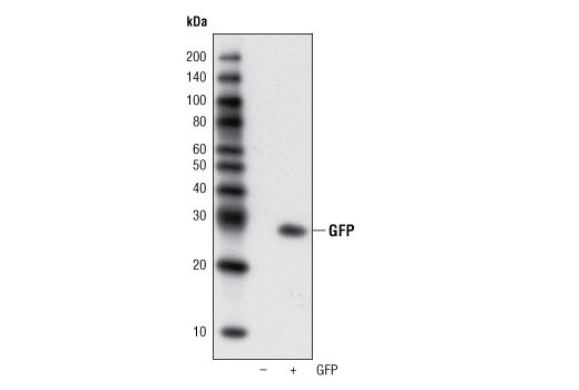 Western blot analysis of extracts from HCC827 cells, untransfected or transfected with GFP, using GFP (4B10) Mouse mAb.