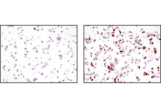 Monoclonal Antibody - GFP (4B10) Mouse mAb - 100 µl #2955 - #2955