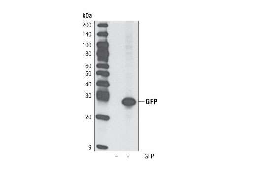 Western Blotting Image 1: GFP (D5.1) Rabbit mAb