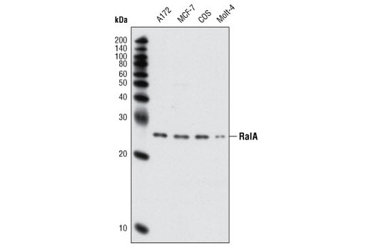Western blot analysis of extracts from various cell lines using RalA Antibody.