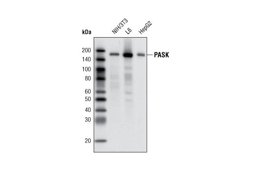 Western blot analysis of extracts from NIH/3T3, L6 and HepG2 cells using PASK (C70B2) Rabbit mAb.