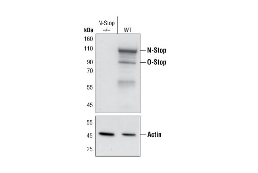 Western blot analysis of extracts from wild type (WT) and N-STOP knock-out mouse brain lysates, using STOP (175) Mouse mAb (upper) or Actin Antibody (lower). (Kindly provided by Dr. Robert Margolis, Sidney Kimmel Cancer Center, San Diego, California).