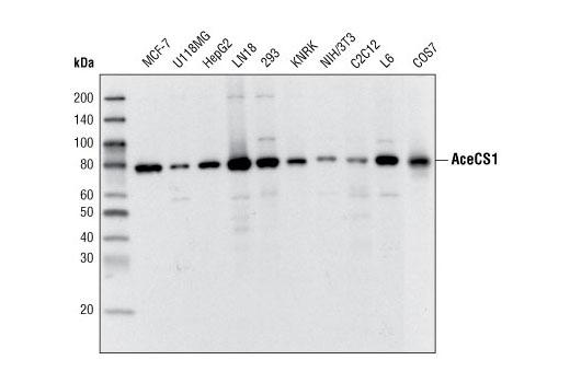 Monoclonal Antibody - AceCS1 (D19C6) Rabbit mAb - Immunoprecipitation, Western Blotting, UniProt ID Q9NR19, Entrez ID 55902 #3658 - Metabolism