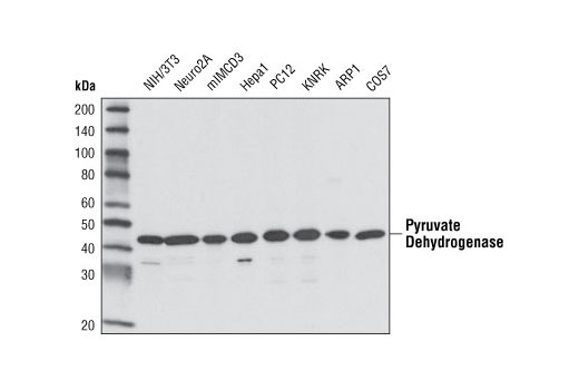 Western blot analysis of various cell lines using Pyruvate Dehydrogenase (C54G1) Rabbit mAb.