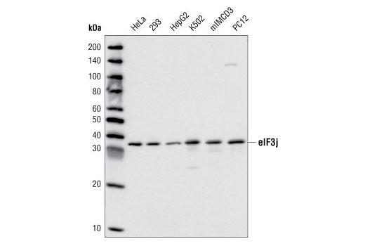 Polyclonal Antibody Immunoprecipitation Translation Initiation Factor Activity - count 13