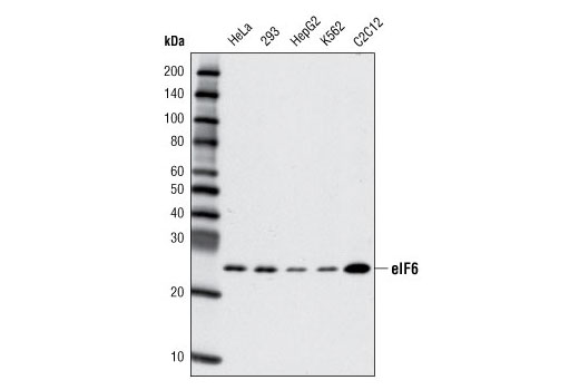 Polyclonal Antibody Ribosome Export from Nucleus