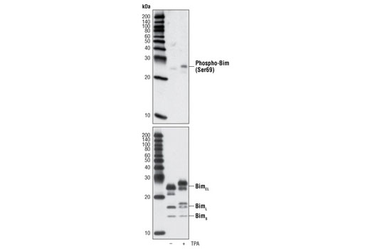 Western blot analysis of extracts from Raji cells, untreated or TPA-treated for 30 min, using Phospho-Bim (Ser69) (D7E11) Rabbit mAb (upper) or total Bim (C34C5) Rabbit mAb #2933 (lower).