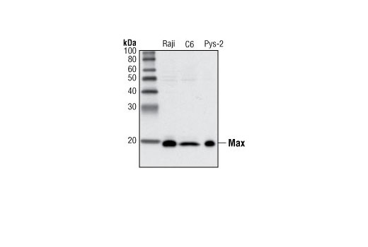 Western blot analysis of extracts from various cell lines using Max (S20) Antibody.