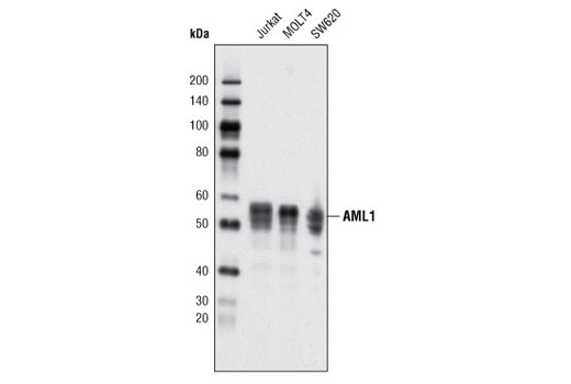 Western blot analysis of extracts from various cell lines using AML1 (D33G6) XP<sup>®</sup> Rabbit mAb.