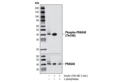 Western blot analysis of extracts from serum starved HeLa cells, untreated or treated with insulin (100 nM, 5 minutes) or with insulin and λ phosphatase, using Phospho-PRAS40 (Thr246) (C77D7) Rabbit mAb (upper) or PRAS40 Antibody #2610 (lower).