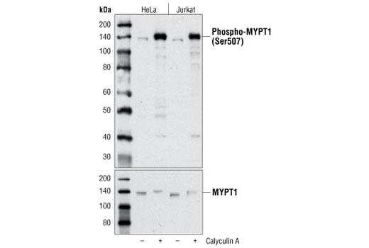 MYPT1 Ser507 Phosphate Target - count 2