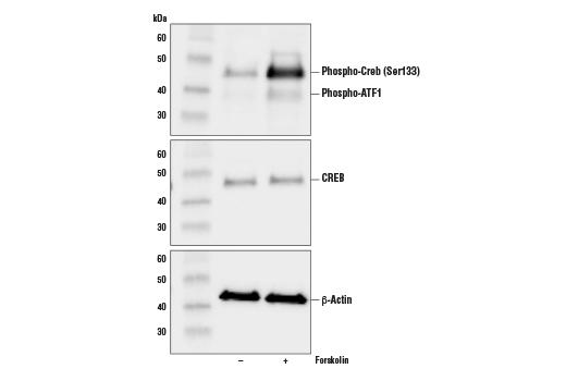 Chemical Modulators - Forskolin - 10 mg #3828 - Ca, Camp and Lipid Signaling