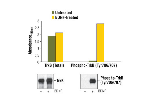 Figure 1: Treatment of 3T3/TrkB cells with BDNF (#3897) stimulates tyrosine-phosphorylation of TrkB, detected by PathScan<sup>®</sup> Phospho-TrkB (panTyr) Sandwich ELISA Kit #7108, but does not affect the level of total TrkB detected by PathScan<sup>®</sup> Total TrkB Sandwich ELISA Kit #7106. Absorbance at 450 nm is shown in the top figure, while the corresponding Western blots using Phospho-TrkA (Tyr674/675)/TrkB (Tyr706/707) (C50F3) Rabbit mAb #4621 (right panel) or TrkB (80E3) Rabbit mAb #4603 (left panel), are shown in the bottom figure. The human TrkB is transfected and expressed in NIH/3T3 cells.