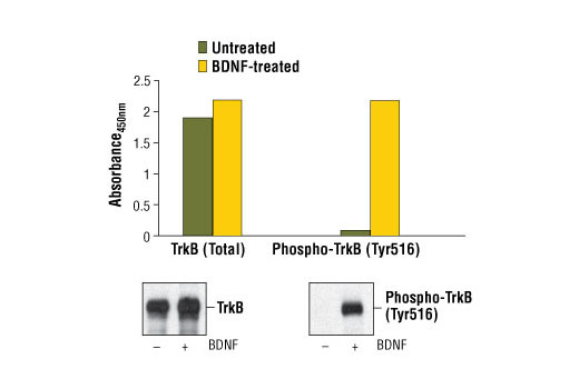 Figure 1. Treatment of 3T3/TrkB cells with BDNF stimulates tyrosine-phosphorylation of TrkB, detected by PathScan<sup>®</sup> Phospho-TrkB (Tyr516) Sandwich ELISA Kit #7111, but does not affect the levels of total TrkB detected by PathScan<sup>®</sup> Total TrkB Sandwich ELISA Kit #7106. Absorbance at 450 nm is shown in the top figure, while the corresponding Western blots using Phospho-TrkA (Tyr490)/TrkB (Tyr516) (C35G9) Rabbit mAb #4619 (right panel) or TrkB (80E3) Rabbit mAb #4603 (left panel), are shown in the bottom figure. Human TrkB is transfected and expressed in NIH/3T3 cells.