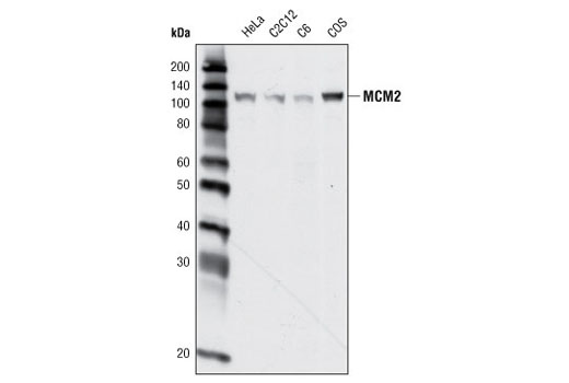 Western blot analysis of extracts from various cell types using MCM2 Antibody.