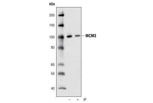 Immunoprecipitation of MCM3 from HeLa cell lysates using MCM3 Antibody followed by western blot using the same antibody. Lane 1 is 5% input.