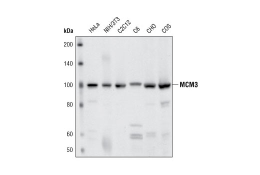 Western blot analysis of extracts from various cell types using MCM3 Antibody.