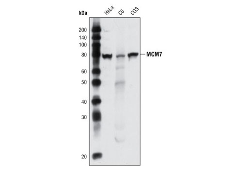 Western blot analysis of extracts from various cell types using MCM7 Antibody.