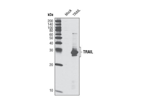 Western blot analysis of extracts from HeLa cells, mock transfected or transfected with human TRAIL expression construct, using TRAIL (C92B9) Rabbit mAb.