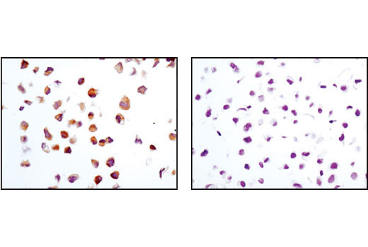 Immunohistochemical analysis of paraffin-embedded 786-0 (positive, left) or HeLa (negative, right) cell pellets using TRAIL (C92B9) Rabbit mAb.