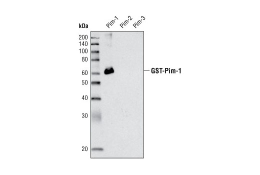 Image 7: Pim Kinase Antibody Sampler Kit