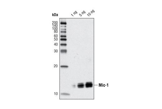 Western blot analysis of recombinant mature Mic-1 protein using Mic-1 (L300) Antibody.