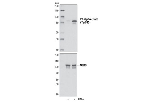 Western blot analysis of extracts from HeLa cells, untreated or treated with IFN-α (100 ng/ml) for 5 minutes, using Phospho-Stat3 (Tyr705) (M9C6) Mouse mAb (left) or Stat3 Antibody #9132 (right).