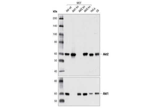 Western blot analysis of extracts from various cell lines using Akt2 (D6G4) Rabbit mAb (upper) and Akt1 (C73H10) Rabbit mAb #2938 (lower).